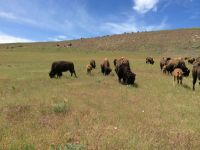 red-canyon-bison