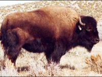 Saint Clair, one of the finest buffalo cows in North America, and daughter of Mr