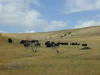 Buffalo-peacefully-grazing